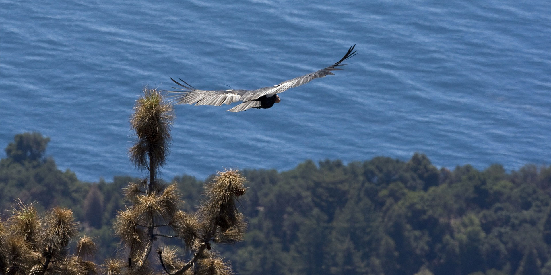 Condor Baja California